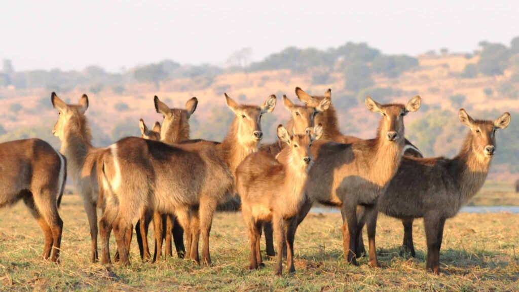 African Antelope found along the Chobe River